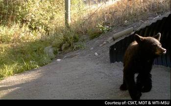 PHOTO: A black bear exiting a wildlife bridge on Highway 93 near Evano, Mont.