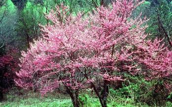 PHOTO: April will bring the blooms of Redbuds in the Great Smoky Mountains National Park. Due to federal budget cuts under the sequester, 3 campgrounds, 2 picnic areas and 1 horse camp will not open this summer. Photo credit: Public Domain