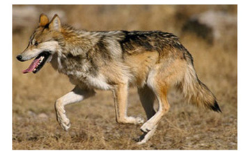 Photo: Mexican wolf<br />Courtesy: Jim Clark USFWS<br />