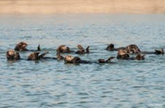 Photo: Boaters are urged to be careful around sea otters in and around Elkhorn Slough and Moss Landing Harbor where large numbers of otters and other mamals live. Credit: John Perry