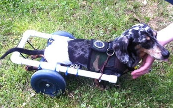 Photo: Ricky Bobby uses an adaptive transportation cart made by his owner, Megan Bliss. Courtesy of Megan Bliss.