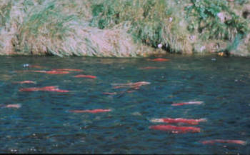 PHOTO: Some pesticides affect a salmon's sense of smell, making it hard for them to migrate back to their