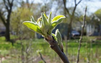Apple trees are starting to blossom at a community garden in Lansing. The Local Farmers, Food and Jobs Act would help small farms get surplus produce to food banks and farmer's markets. Photo credit, Rob South.