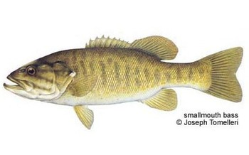 """PHOTO: Sometimes called a """"bronzeback"""" for its brassy brown hue, the smallmouth is one of the strongest fish for its weight."""