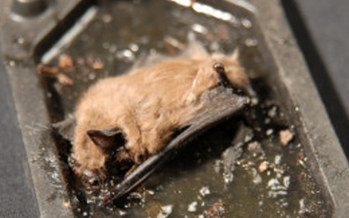 A dead bat stuck on a glue trap - the least humane method, says Humane Society of US.