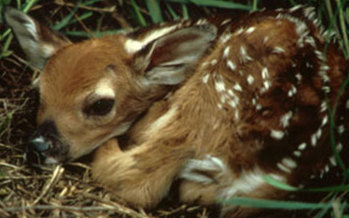 Photo: The Maryland Department of Natural Resources warns against approaching fawns. Photo credit: DNR