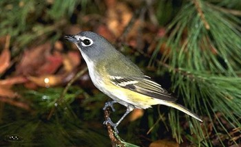 PHOTO: The Blue-Headed Vireo is one of the birds