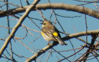 PHOTO: A yellow-rumped warbler. CREDIT: Robert Nunnally