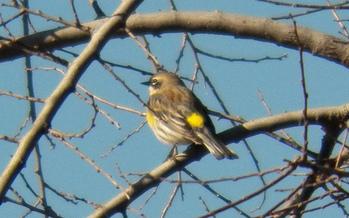 PHOTO: A yellow-rumped warbler. CREDIT: Robert Nunnally