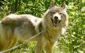 Photo: Wolf rescued by Genesis Wildlife Sanctuary. Courtesy: Genesis