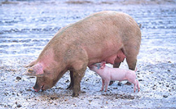 PHOTO: Lawsuit filed to get arsenic out of animal feed.<br />Courtesy: USDA