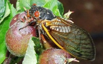 PHOTO: A Virginia Tech entomologist says the cicada invasion likely won't be as forceful as expected this year. Photo Credit: Virginia Tech