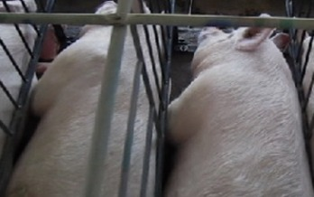 PHOTO: The Humane Society of the United States wants Smithfield Foods to continue to phase out use of