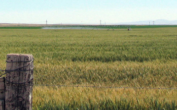 PHOTO: Wheat prices took a tumble after genetically modified wheat was found in a field in Oregon. Japan banned U.S. imports, and Montana exports much of its wheat to Japan. Photo credit: Deborah C. Smith