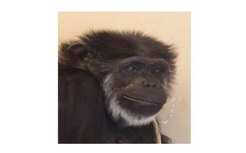 PHOTO: Flo, held in captivity most of her life, is now 55. A ruling to recognize all chimpanzees as endangered could mean retirement from lab testing in Alamogordo, New Mexico. Courtesy of NIH.<br />