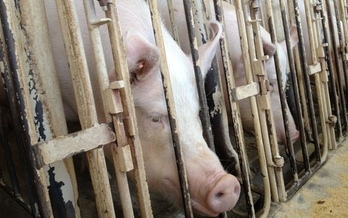 """PHOTO: Animal cruelty was brought to light at Wyoming Premium Farms in Wheatland, WY, in May of 2012. Undercover exposes might be criminalized if """"ag-gag"""" bills introduced in many states are passed. Courtesy Humane Society of the United States."""