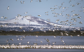 PHOTO: A new report says migratory birds are having a tough time adjusting to a changing climate. Klamath Nat'l. Wildlife Refuge water shortages are a combination of drought and multiple use pressures. Courtesy of U.S. Fish & Wildlife Service.