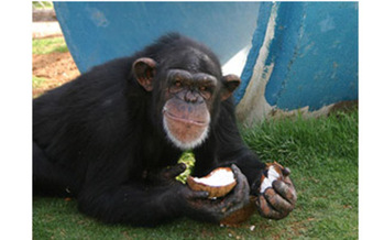 PHOTO: Pumpkin, a 24-year-old chimpanzee at the Alamogordo Primate Facility, loves coconuts and kiddie swimming pools. APF is a chimpanzee reserve where no research is conducted.<br />Courtesy: N-I-H.<br />
