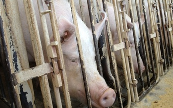 Pregnant pigs are confined in gestation crates too small to turn around in. Photo Credit: Humane Society of The United States
