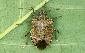 PHOTO: Organic farmers are finding few effective weapons for wiping out this year's bumper crop of stink bugs. Photo credit: http://njaes.rutgers.edu/