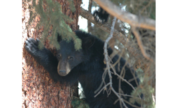 Bears in the Sandia Mountains are entering towns looking for food during the long New Mexico drought.<br />Courtesy of: Jim Robertson.<br />