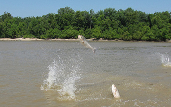 PHOTO: A new poll finds 63% of Minnesota voters support closing the Upper St. Anthony Falls Lock and Dam on the Mississippi River in Minneapolis, to help prevent the spread of the invasive Asian carp. CREDIT: LouisvilleUSACE