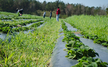 Photo: Strawberry fields at Cottle Organics in Rose Hill. Courtesy: Cottle Organics
