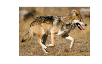 PHOTO: Preservation of the Mexican gray wolf is the subject of a public meeting in Albuquerque on Oct. 4. Photo credit: Jim Clark, courtesy of USFWS.