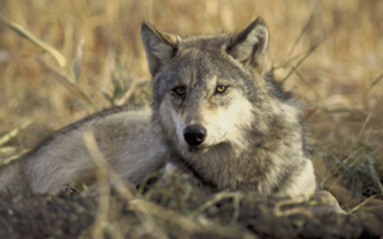PHOTO: The U.S. Fish and Wildlife Service is proposing to remove federal protections for gray wolves, and has extended the public comment period to 10/28/13. A poll conducted by Tulchin Research shows most Californians want wolf recovery efforts to continue. Credit: U.S. Fish & Wildlife Service.
