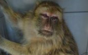 PHOTO: This is one of the Barbary Macaques removed from the Las Vegas Zoo - now in a central Kentucky primate sanctuary. Photo courtesy Primate Rescue Center.