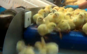 PHOTO: Animal protection group says newborn chicks are being mistreated at a Pennsylvania hatchery. Photo credit: Compassion Over Killing