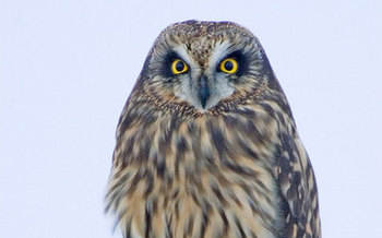 The Short Eared Owl is among 62 members of the current endangered species list in Pennsylvania.  Photo courtesy of Idaho Fish and Game/Tom Munson.