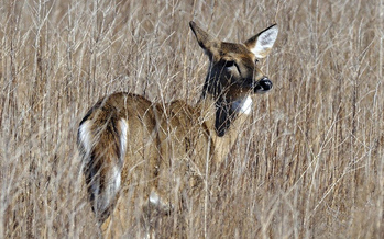 PHOTO: Big game species, including the deer and moose prized by Massachusetts hunters, are being threatened by climate change, according to a National Wildlife Federation report. Courtesy USFWS-Northeast region.