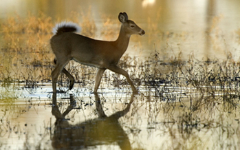 PHOTO: A new National Wildlife Federation report outlines how climate change is affecting big game, making a connection between a bleeding disease and Iowa's white-tailed deer. Photo credit: U.S. Forest Service