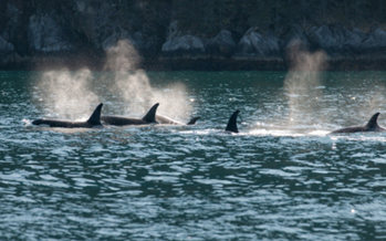PHOTO: The National Marine Fisheries Service must review its permit that allows U.S. Navy training exercises along the Pacific coast. Research shows using sonar could be adversely affecting orcas and other marine mammals. Photo credit: iStockphoto.com.