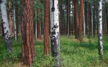PHOTO: Would these Ponderosa pines and aspen trees in the Deschutes National Forest be