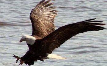PHOTO: At least a dozen bald eagles have died in the past month in Utah and state wildlife officials don't know the cause. Photo courtesy of the U-S Fish and Wildlife Service.
