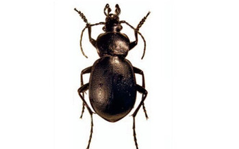 PHOTO: Farmers and ag professionals are meeting in Hailey today to learn about beneficial insects and other critters, and how to make them part of the farm family. For example, this predaceous ground beetle eats slugs. Photo credit: Wikipedia Commons