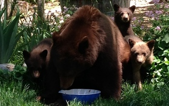 PHOTO: Black bears eating garbage and roaming around populated areas near Lake Tahoe when they should be hibernating is the result of Nevada's severe drought, according to the Nevada Department of Wildlife. Photo courtesy of the state Department of Wildlife.