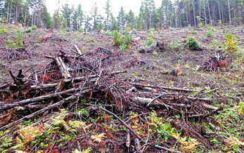 PHOTO: The groups that want to stop the White Castle timber sale point to another BLM experimental harvest known as Buck Rising (part of which is seen here), saying the result looks too much like clear-cutting. Photo credit: Francis Eatherington