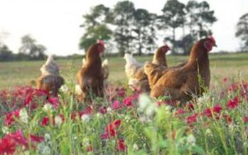 PHOTO: Pasture-raised hens get 2.5 acres per 1,000 hens to roam and feed, according to guidelines developed by the Virginia-based group Humane Farm Animal Care. Photo courtesy HFAC.