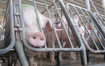 PHOTO: Columbus-based Wendy's is demanding quarterly reports from pork suppliers about their ability to provide pork produced without the use of gestation crates. Photo credit: Humane Society of the United States.