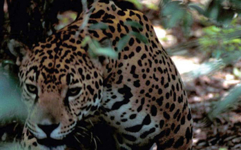 PHOTO: The U.S. Fish and Wildlife Service is granting protection for the habitat of the endangered jaguar in New Mexico and Arizona. Photo courtesy of the U.S. Fish and Wildlife Service.