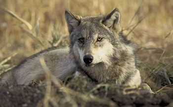 PHOTO: Oregon now has 64 wolves, but the species' recovery may be at risk, in part because of the wolf management policies of neighboring Idaho. Photo credit: Karen and John Hollingsworth for U.S. Fish & Wildlife Service.