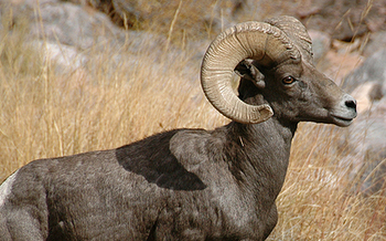 PHOTO: A new National Wildlife Federation report details how wildlife mascots are being affected by climate change, including the Virginian Commonwealth University ram. Photo credit: National Park Service