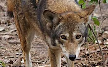 PHOTO: North Carolina's population of 100 red wolves on a small peninsula near Columbia, NC, are the only ones in the wild on the continent. Photo courtesy: Red Wolf Coalition