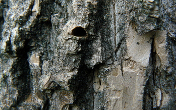 PHOTO: The emerald ash borer leaves an emergence hole that's shaped like the letter