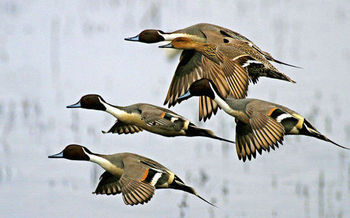 PHOTO: Migratory ducks, like these northern pintails photographed at the Tule Lake National Wildlife Refuge on the Oregon-California border, are more susceptible to disease as a result of drought. That's just one impact of climate change in a new report from the National Wildlife Federation. Photo credit: Jack Noller, USFWS.