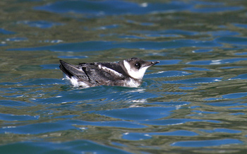 PHOTO: Some of the marbled murrelet's prime Oregon habitat is in the Elliott State Forest, where the State of Oregon is accepting bids to sell off 3,000 acres to allow timber harvest. Photo credit: R. Lowe, USFWS.