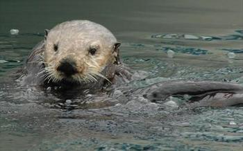 PHOTO: A $21,000 reward is being offered to help find the person or persons who shot and killed three sea otters last fall near Monterey. Photo credit: USGS